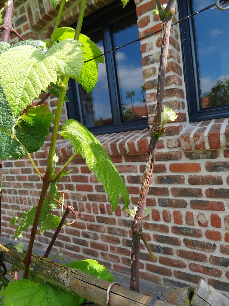 Taille vigne chasselat page 3 au jardin forum de jardinage - Traitement olivier bouillie bordelaise ...